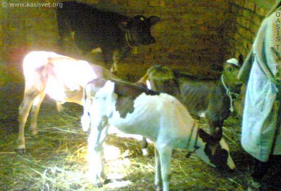 crop_calf.jpg