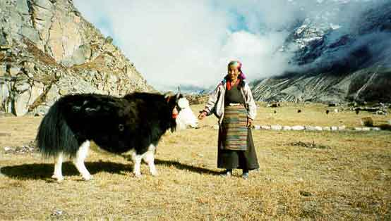 yak of ladakh