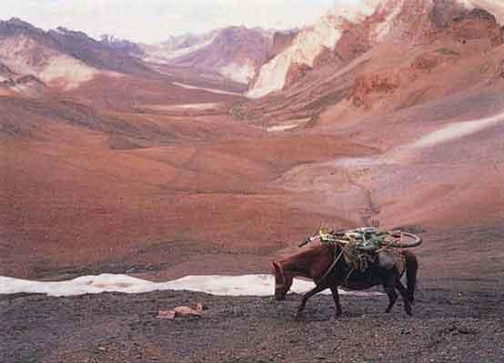 Zanskari horse ladakh