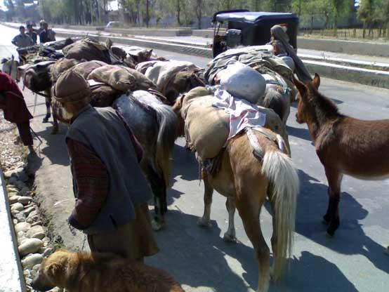 Tribal livestock