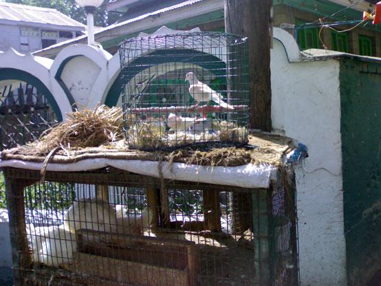 Wild captive birds