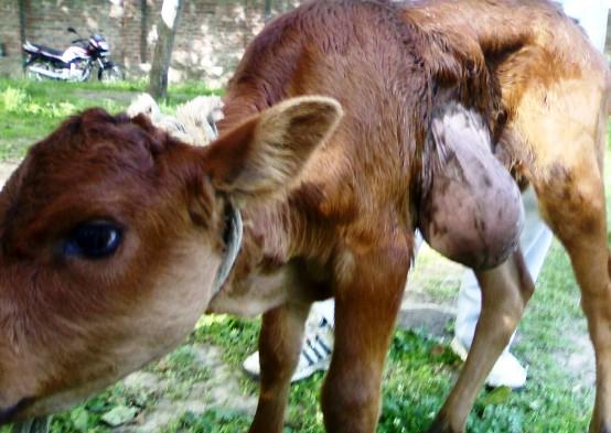 hernia abdominal calf