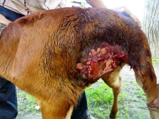 hernia calf abdomen suture