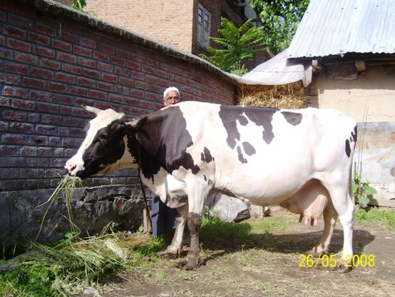 holstein friesian cow
