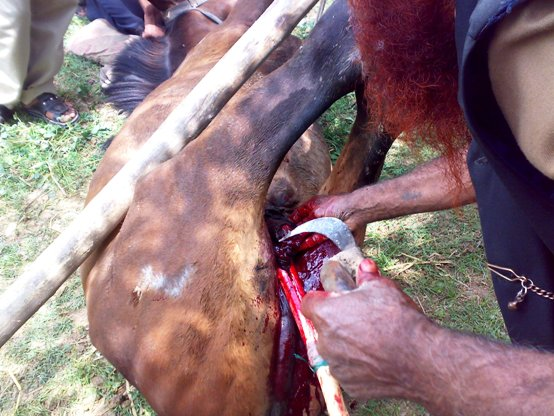 horse castration cruelty animal spca