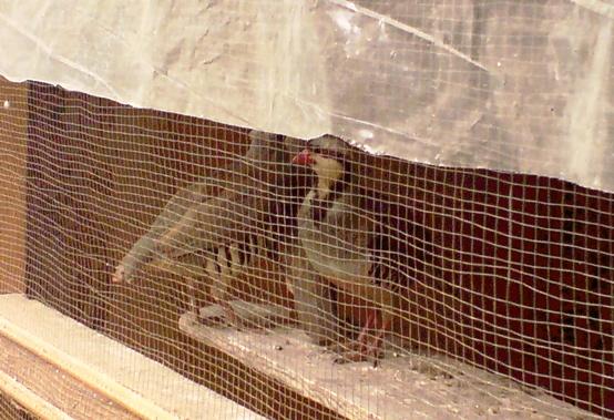 Captive pheasants chakoors wild birds law