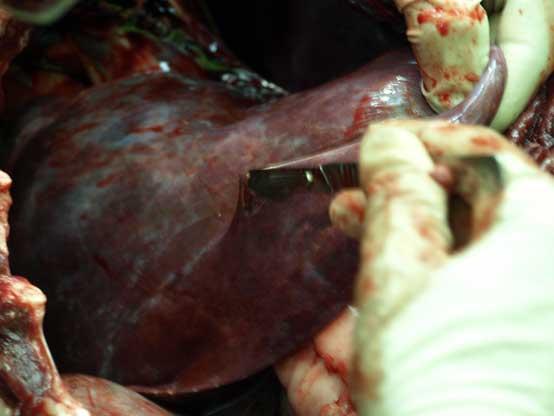 bear liver