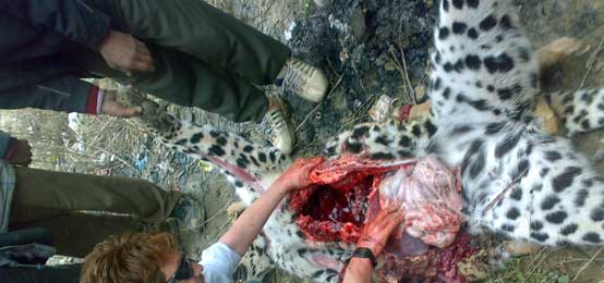 post mortem on a leopard in kashmir