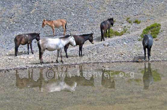 zanaskari ponies