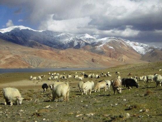 pashmina goats in ladakh